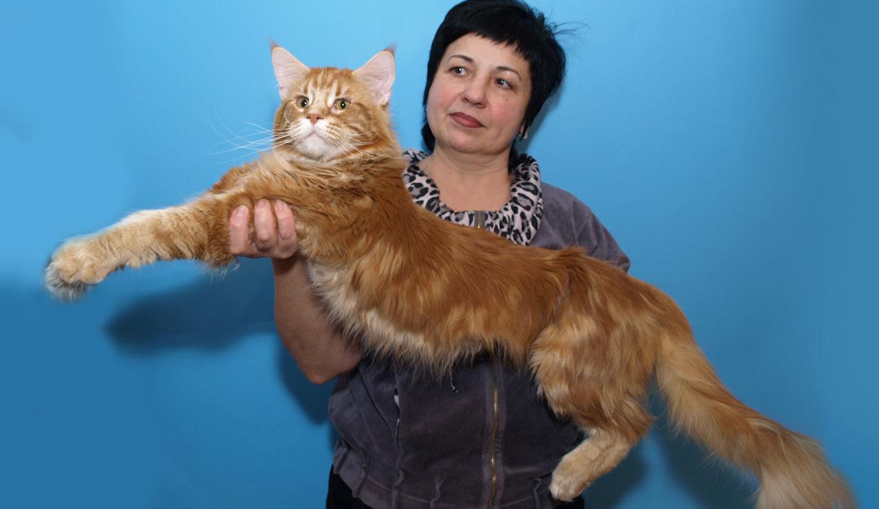 Питомник мейнкунов: как не разориться на продаже котят